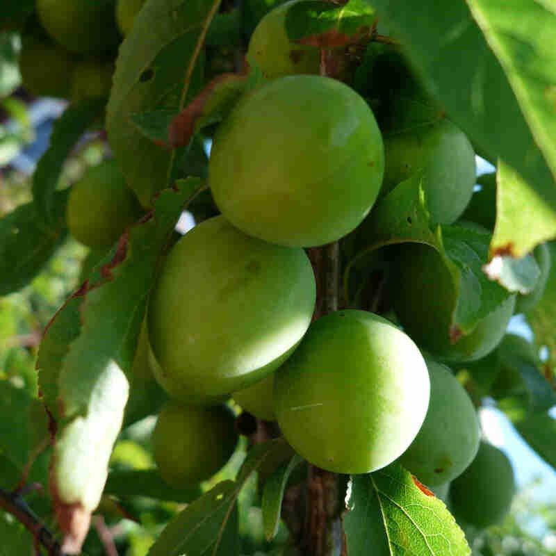 Mirabel - Prunus cerasifera 'First'