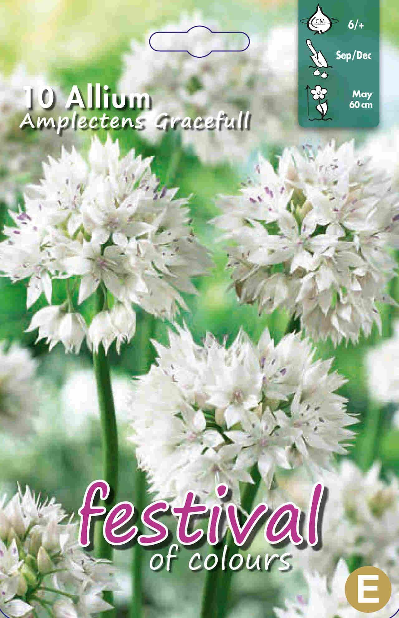 Prydløg - Allium Amp. Graceful 6/+
