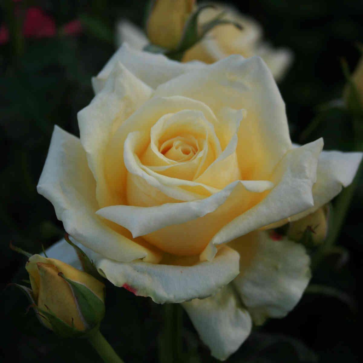 Rose 'Kaj Munk'